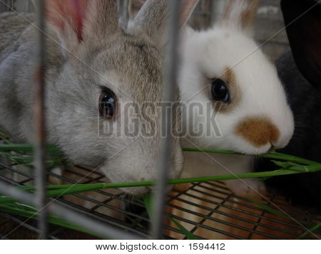 Gray White Bunnies