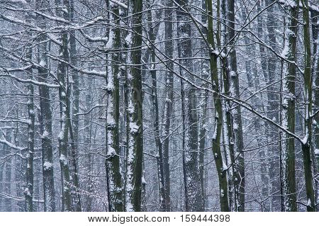 Forest wall after winter snowfall in Wielkopolska National Park