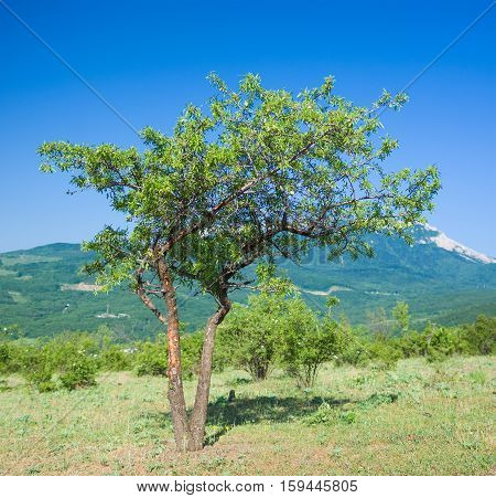 Lonely quince tree in Crimean mountains at spring season