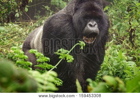 Front view of angry silverback mountain gorilla in the misty wild forest opening mouth