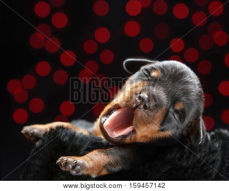 Miniature Pinscher puppy lying down in front of black background