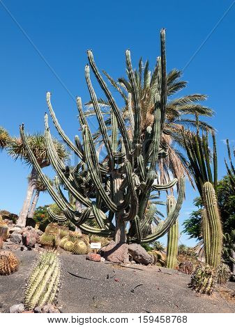 Beautiful Succulent Cactus Plants in Garden on Fuerteventura