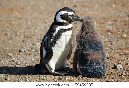 Magellanic Penguin Helping Its Nestling To Clear Itself From Infantile Floccus