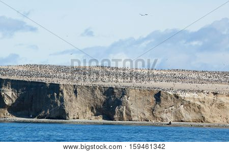 Large Colony Of Cormorants In Patagonia, South America