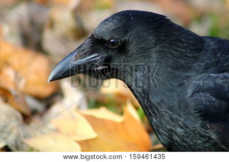 A Carrion Crow with a crop full of food