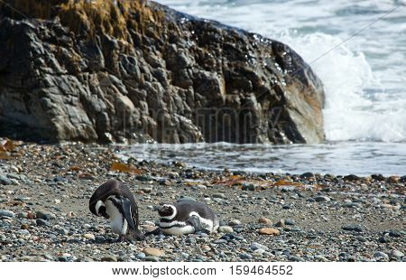Two Magellanic Penguins In Patagonia, South America