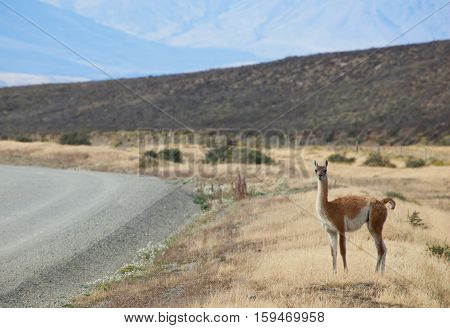 Guanaco In Torres Del Paine National Park, Chile, South America