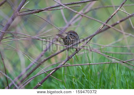 Lincoln's Sparrow in firebush looking for seeds.