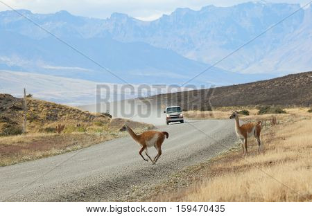Guanacoes Crossing The Road In National Park Torres Del Paine, Chile, South America