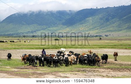 AFRICA, TANZANIA, MAY, 10, 2016 - Maasai Mara grazing herd of cows in Ngorongoro Crater Conservation Area, Tanzania. East Africa