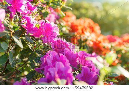 Spring Flowers Azalea