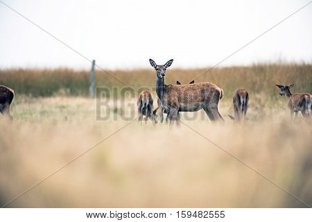 Herd Of Red Deer Doe In Field With One Lookign Up. National Park Hoge Veluwe. The Netherlands.