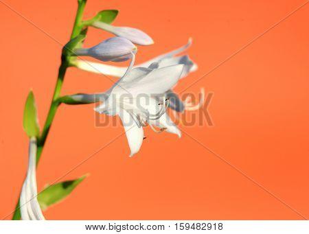 Purple bell flowers on the plant stem