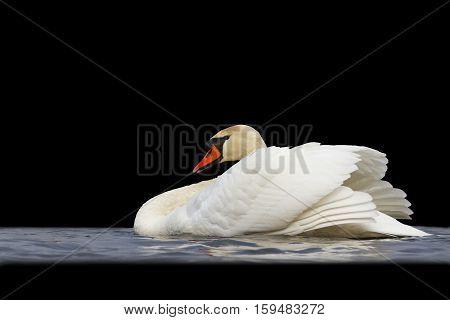 swan floating on water isd on black, mute swan, spray water white bird