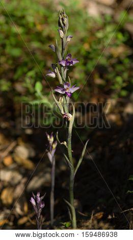 Violet Limodore Wild Orchid Full Plant - Limodorum Abortivum