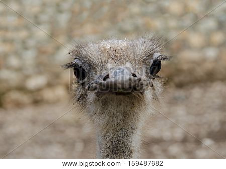 close up of Ostrich or Common Ostrich (Struthio camelus) is one of large flightless birds native to Africa