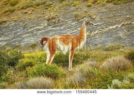 Guanaco in Torres del Paine national park Patagonia Chile