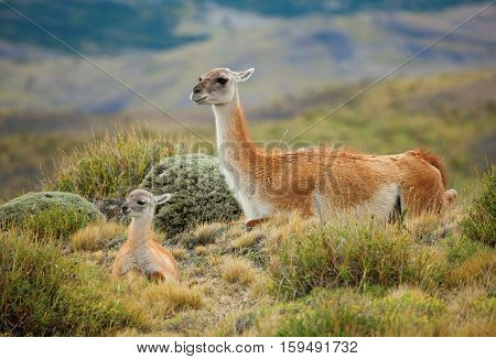 Guanaco Family In Torres Del Paine National Park, Chile, South America