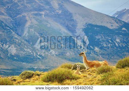 Mother Guanaco With Its Baby