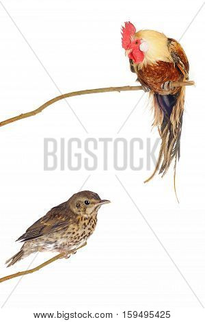 song thrush and brown rooster on a white background