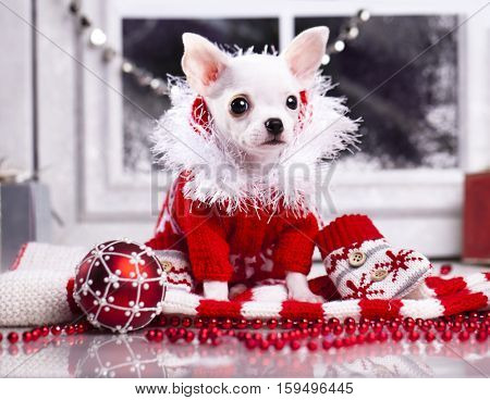 Chihuahua puppy dressed in a red sweater