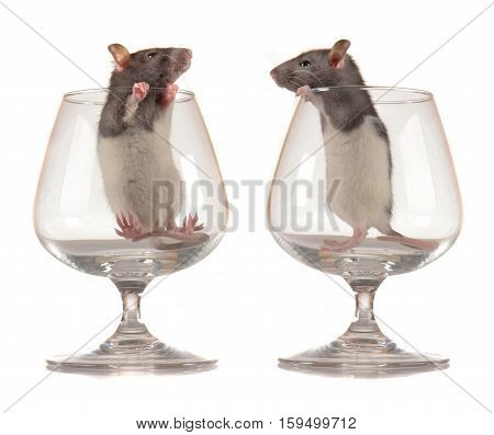 Rats in glass  on a whit background