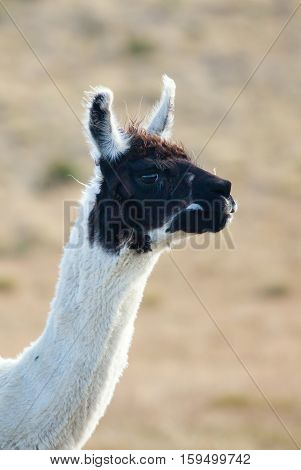 Closeup Of A Patagonean Lama