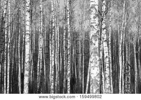 birch forest, black-white photo, beautiful autumn landscape