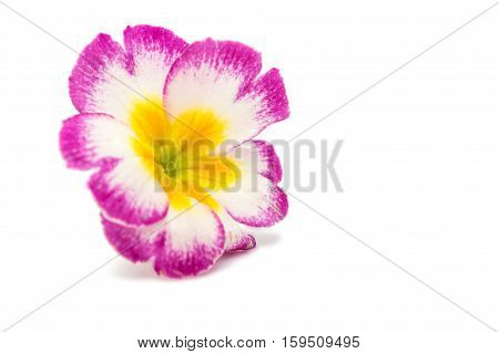 pink primrose flowers on a white background