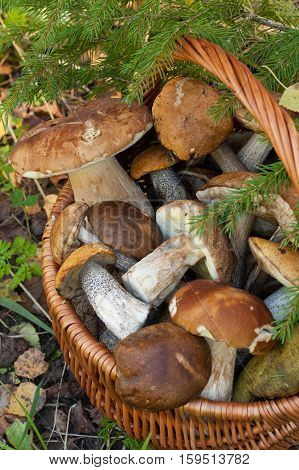 Brown Cap Boletus (Leccinum Scabrum) And Boletus Edulis (Porcini). Wicker Basket With Edible Mushrooms Under Fir-Tree In Forest Close Up.