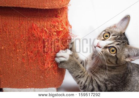 Kitten looking and scratching orange fabric sofa