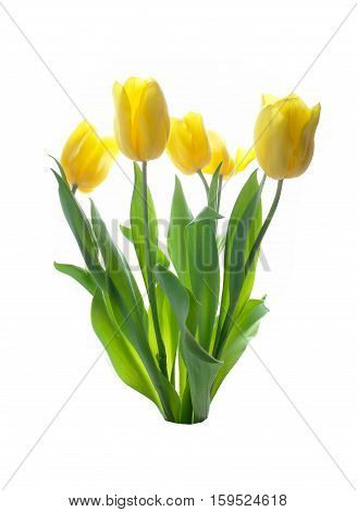 yellow tulip isolated on a white background