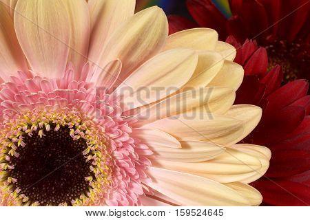 Gerbera Flower Petals Closeup Horizontal Color Photograph
