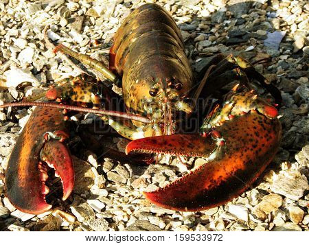 Live Maine lobster lounging on a Maine beach.