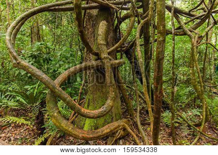 Tangled lianas in the tropical. Jungle rainforest