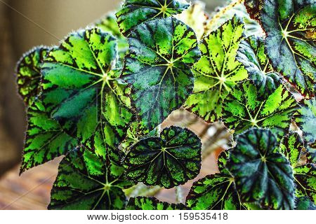 Begonia in flowerpot on wooden background. Genus of perennial flowering plants in the family Begoniaceae. Hybrid begonia Tiger Paws or Eyelash with green and red leaf pattern/Potted houseplant.