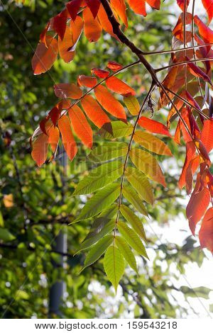 Vibrant Red Green Tree Of Heaven Leaves In Fall