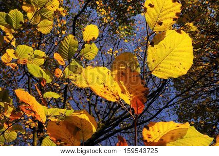 Colorful leaves on a tree in autumn