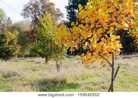 Colorful Autumn Leaves On New American Tulip Poplar Tree (liriodendron Tulipifera)