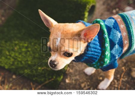 A chihuahua puppy stands in a yard, near a child's toy, in a festive knit sweater