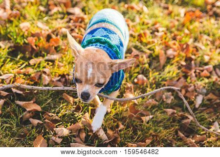 A chihuahua puppy walking on grass and leaves, carrying a stick in its mouth