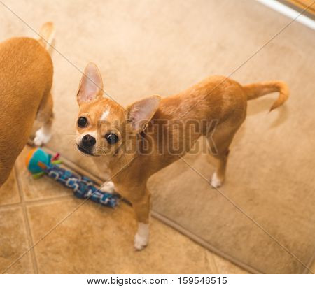 Cute chihuahua puppy stands next to a dog toy and another chihuahua, looking up at the camera.