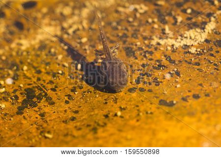 Tadpole feeding in a natural river bed.