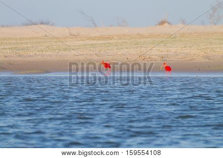 Scarlet Ibis From Lencois Maranhenses National Park, Brazil.