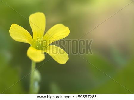 Common Yellow Wood-sorrel (Oxalis stricta) in full bloom