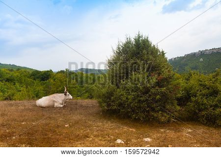 Mountain landscape with trees. In the foreground is a bull with a magnificent beautiful horns. Mangup-Kale. Crimea.