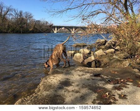 Brindle Boxer Dog In The River