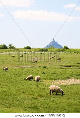 Sheep on a field near the Mont Saint-Michel rocky tidal island in Normandy France