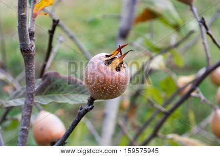 Medlar on the tree branch in the autumn