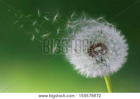 Dandelion flying. Nature . dandelion blowing. flying